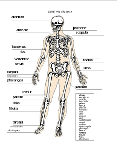 Skeletal Questions - Stanek\'s Human Body